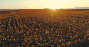 Słonecznika pole przy zmierzchem, kwitnący słoneczniki Panoramiczny powietrzny trutnia widok zbiory wideo