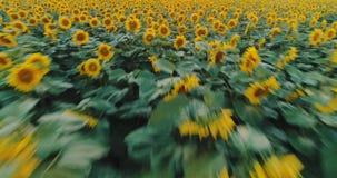 Słonecznika pole przy zmierzchem, kwitnący słoneczniki Panoramiczny powietrzny trutnia widok zdjęcie wideo