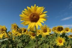 Słonecznika pole w słonecznym dniu obraz royalty free
