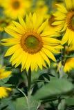 Słonecznika pole w Ukraina, zamyka up obraz stock