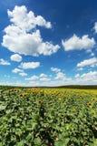 Słonecznika pole z cumulus chmurami Zdjęcie Royalty Free