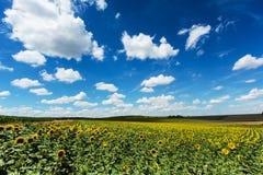 Słonecznika pole z cumulus chmurami Zdjęcia Royalty Free
