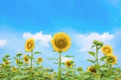 Słonecznika pole z pięknym niebem Zdjęcie Stock