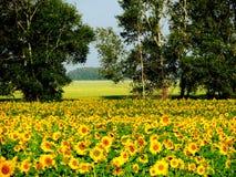 Słoneczniki żółci Obrazy Royalty Free