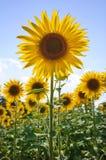 słoneczniki obrazy royalty free