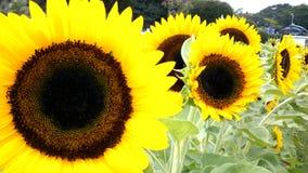 Słoneczniki Zdjęcia Royalty Free