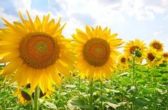 słoneczniki błękitne niebo Zdjęcia Royalty Free