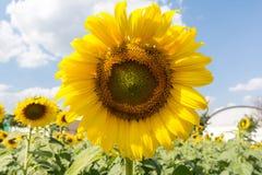 słoneczniki błękitne niebo Obrazy Royalty Free