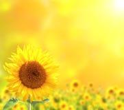 słoneczniki bystre zdjęcie royalty free