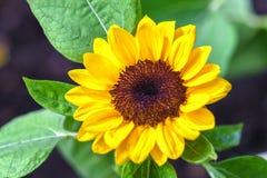 Słoneczniki kwitną w ranku w pogodnym ogródzie zdjęcie stock