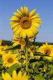 Słoneczniki kwitnie przeciw niebieskiemu niebu, kolory żółci kwitną w Ukraina zdjęcia royalty free