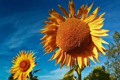 Słoneczniki Na jesień ranku Zdjęcie Stock