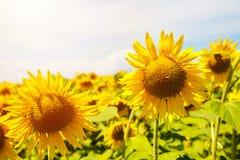 Słoneczniki na pogodnym słonecznika polu Obraz Stock