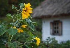 Słoneczniki na tle pokrywająca strzechą budy wioska Obrazy Royalty Free