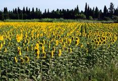 Słoneczniki obracają słońce Zdjęcie Stock