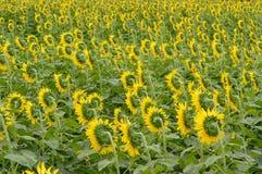 Słoneczniki obracają w harmonia plecy Fotografia Stock