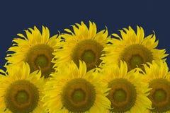 Słoneczniki odizolowywający na zmroku - błękitny tło Obrazy Royalty Free