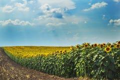 Słoneczniki odpowiadają na słonecznym dniu Obrazy Stock