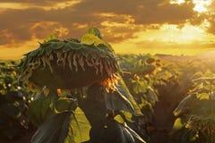 Słoneczniki odpowiadają przy zmierzchem Zdjęcie Royalty Free