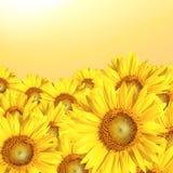Słoneczniki Odpowiadają tło Zdjęcie Royalty Free