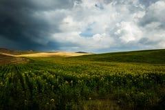 Słoneczniki odpowiadają w Tuscany Obraz Royalty Free