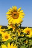 Słoneczniki odpowiadają w Ukraina zdjęcie royalty free
