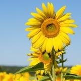 Słoneczniki odpowiadają w Ukraina obrazy royalty free