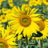 Słoneczniki odpowiadają w Ukraina Obrazy Stock