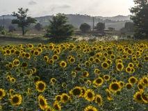Słoneczniki odpowiadają w zmierzchu obraz royalty free