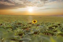 Słoneczniki odpowiadają z chmurami przy zmierzchem Fotografia Stock