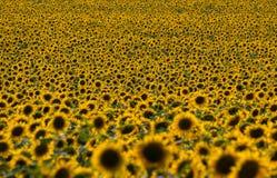 Słoneczniki odpowiadają (z DOF skutkiem) Obrazy Royalty Free