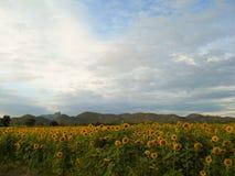 Słoneczniki odpowiadają z dużą górą Zdjęcie Royalty Free