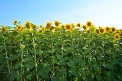 Słoneczniki Odpowiadają z kopii przestrzenią Słonecznika pola krajobraz Zdjęcie Royalty Free