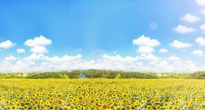 Słoneczniki odpowiadają z naturą vi i szeroko błękitnym bufiastym chmurnym niebem Obraz Royalty Free