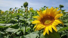 Słoneczniki plenerowi w polu przy słońcem Fotografia Royalty Free