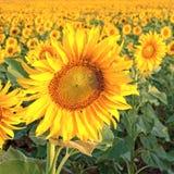 Słoneczniki pole obraz stock