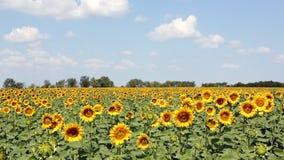 Słoneczniki pole i niebieskie niebo
