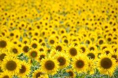 słoneczniki polowe Zdjęcia Royalty Free