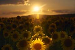 Słoneczniki przy półmrokiem zdjęcie stock