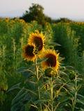 słoneczniki Tuscany obrazy stock