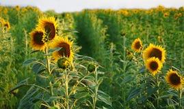słoneczniki Tuscany fotografia stock