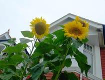 Słoneczniki w domu ogródzie zdjęcie stock