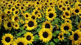 Słoneczniki w jesieni zdjęcie wideo