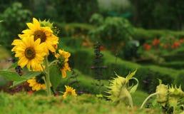 Słoneczniki w kodaikanal chettiar parku obraz stock
