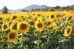 Słoneczniki w pogodnym popołudniu Obraz Stock