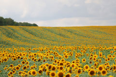 Słoneczniki w Sierpień Zdjęcie Stock