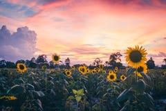Słoneczniki w waniliowym niebie obrazy stock