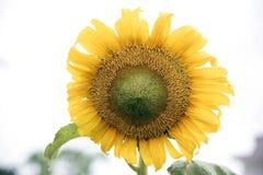 Słoneczniki więdną Zdjęcie Stock