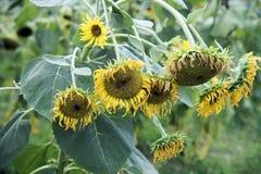 Słoneczniki więdną Obraz Royalty Free
