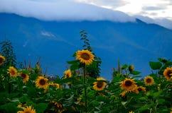 Słoneczniki wykładający up Fotografia Stock